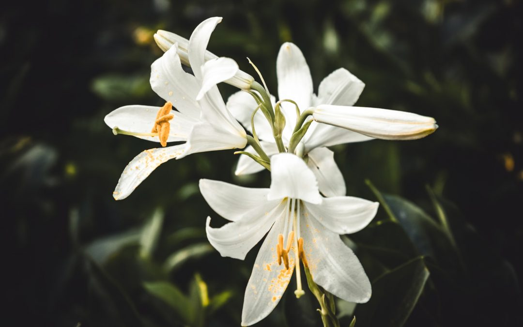 My Lilies of the Field
